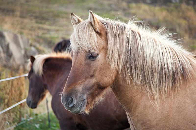Iha-naa, sanoi íslenski hesturinn eli islanninhevonen. (Kuva: Björgvin Hilmarsson)