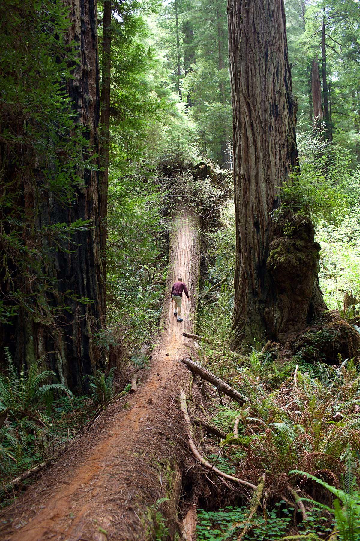 Punapuut ovat maailman vanhimpia ja suurimpia puita. Luonnollisia punapuumetsiä on ainoastaan Etelä-Oregonissa ja Pohjois-Kaliforniassa. (c) Noora Mattila / tripsteri.fi