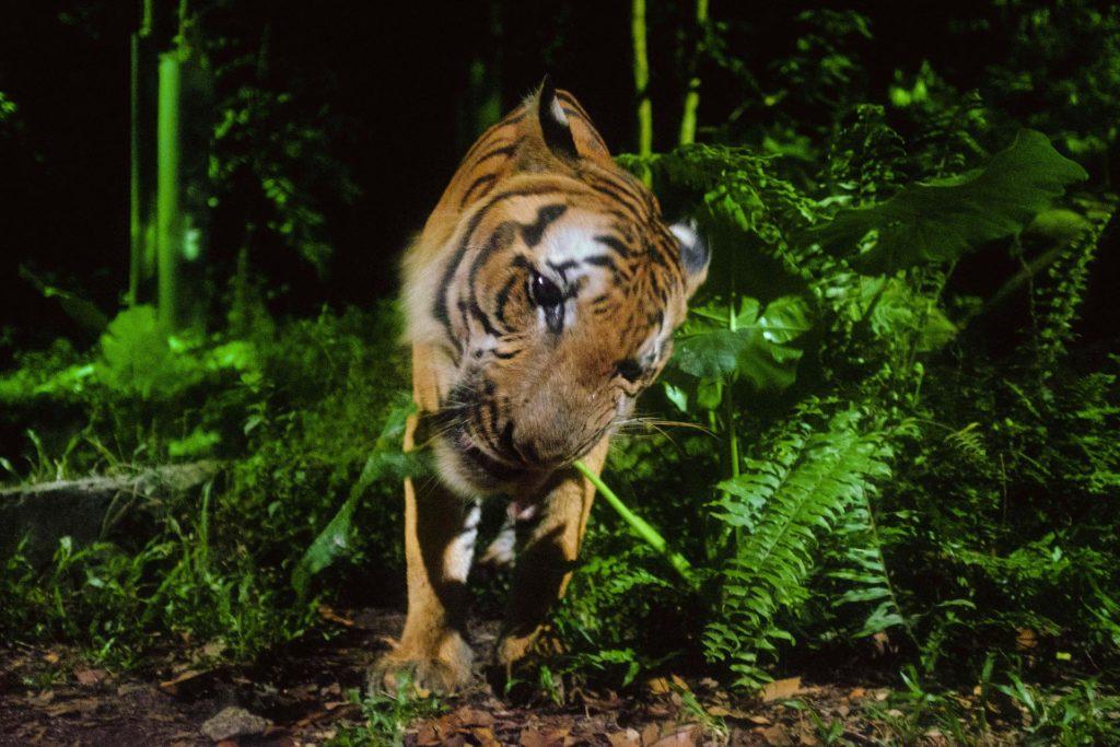 SIngapore Zoon tiikerit ovat aktiivisimmillaan öisin. Kuva: Arwin Verbruggen flickr-CC