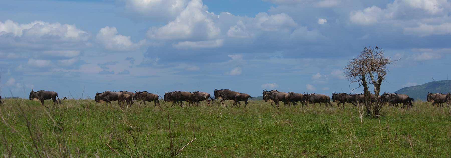 Gnu-antilooppeja Serengetissä